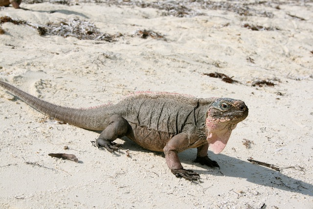 Iguanas