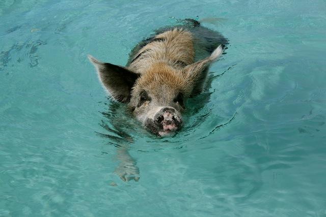 Swimming pigs 1