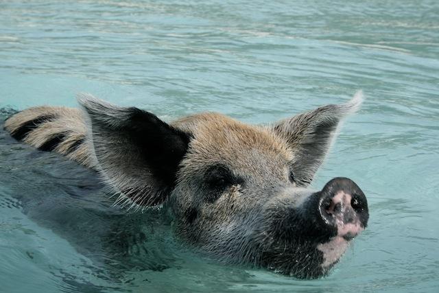 Swimming pigs 2
